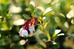 Blooming cowberry. Sunshine. White flowers Royalty Free Stock Image