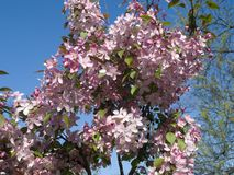 Blooming crab apple. In the city park Royalty Free Stock Image