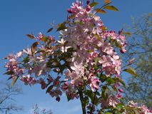 Blooming crab apple. In the city park Stock Photography