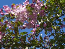 Blooming crab apple. In the city park Royalty Free Stock Photography