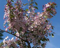 Blooming crab apple. In the city park Stock Image