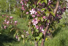Blooming crab apple. In the city park Royalty Free Stock Photo