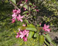 Blooming crab apple. In the city park Royalty Free Stock Images