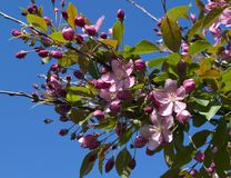 Blooming crab apple. In the city park Royalty Free Stock Photos