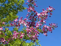 Blooming crab apple. In the city park Stock Images
