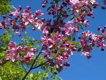 Blooming crab apple. In the city park Stock Photo