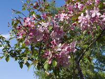 Blooming crab apple. In the city park Stock Photos