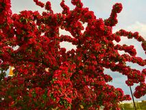 Blooming Crab apple. A red Crab Apple tree in full bloom Stock Photos