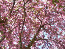 Blooming crab apple tree branches against the sunlight - full frame. Season specific - Spring - Blooming crab apple tree branches against the sunlight - full stock photos