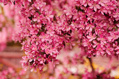 Blooming crab apple tree in spring Royalty Free Stock Photo