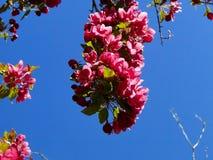 Blooming Crab Apple Tree Royalty Free Stock Image