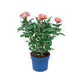 Blooming cream tea rose bush in a garden pot isolated Royalty Free Stock Photos