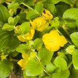 Blooming creeping jenny or moneywort, Lysimachia nummularia, close-up, selective focus, shallow DOF Stock Photos