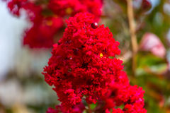 Blooming Crepe Myrtle. A `Dynamite Red` crepe myrtle tree starting to bloom royalty free stock photo