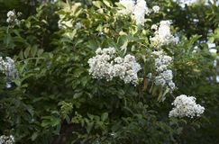 Blooming Crepe Myrtle. Tiny white blossoms on a blooming crepe myrtle royalty free stock photos
