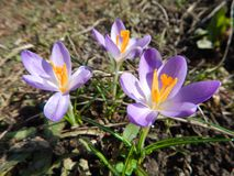 Blooming crocus stock photography