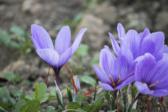 Blooming crocus in the countryside Stock Image