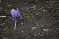 Blooming crocus in the field Stock Photos