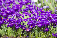Blooming crocus flowers Royalty Free Stock Images