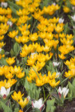 Blooming crocus flowers Stock Photos