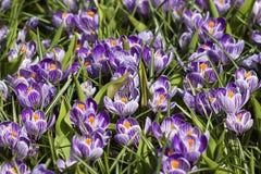 Blooming crocus flowers Royalty Free Stock Image