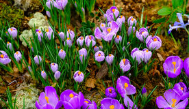 Blooming crocus flowers macro Stock Image