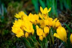 Blooming crocus flowers macro Royalty Free Stock Photos