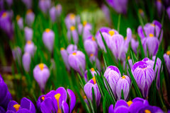 Blooming crocus flowers macro Royalty Free Stock Photography