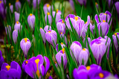 Blooming crocus flowers macro Stock Photo