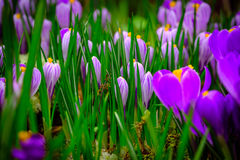 Blooming crocus flowers macro Royalty Free Stock Images