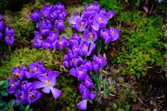 Blooming crocus flowers macro Royalty Free Stock Image