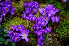 Blooming crocus flowers macro Stock Photo