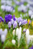 Blooming crocus flowers in the park. Spring landscape. Royalty Free Stock Photo