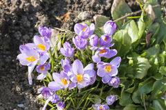 Blooming crocus or saffron flower at spring Royalty Free Stock Photography
