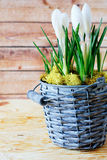 Blooming crocus in a wicker bucket Stock Photography