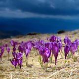 Blooming crocuses royalty free stock photography