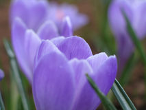 Blooming crocuses Stock Photos