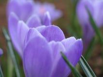 Blooming crocuses. Blooming lilac crocuses stock photos