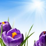 Blooming crocuses Royalty Free Stock Image