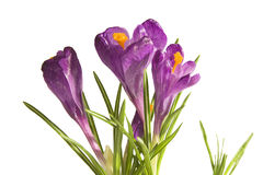 Blooming crocuses Royalty Free Stock Image
