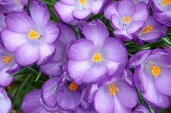 blooming crocuses Royalty Free Stock Photos