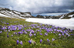 Blooming Crocuses In The snowy mountain Royalty Free Stock Photo