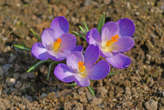 Blooming crocuses in the spring. Three purple crocuses rising from the ground Stock Photography