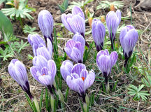 Blooming crocuses Royalty Free Stock Photos