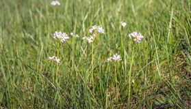 Blooming cuckooflowers from close. Closeup of fragile pink blooming Cuckooflowers or Cardamine pratensis plants between fresh green grass in springtime Royalty Free Stock Photos