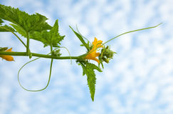 Blooming cucumber plant stock images