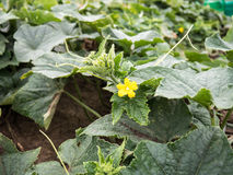 Blooming cucumber plant. In the field Royalty Free Stock Photo