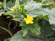 Blooming cucumber plant. In the field Royalty Free Stock Image