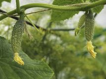 Growing cucumbers in a greenhouse royalty free stock images