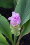 Blooming curcuma (Curcuma alismatifolia) - close up Stock Images
